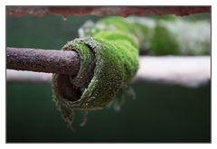 Tüdelitis viridis