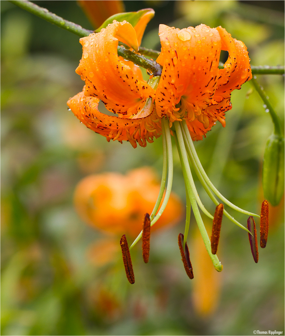 Türkenbund (Lilium martagon) oder auch Türkenbund-Lilie