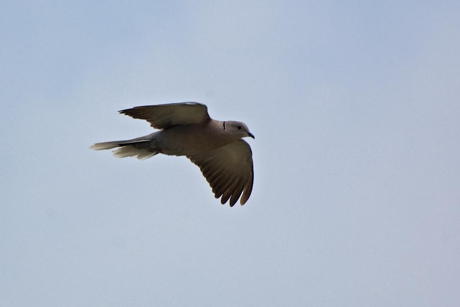 Türkentaube - Eurasian Collared Dove (Streptopelia decaocto)