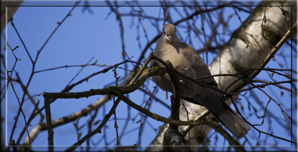 Türkentaube im Baum