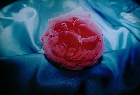 Türkische Rose