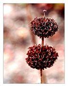 Türmchenblume