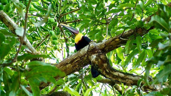 Tukan - Costa Rica
