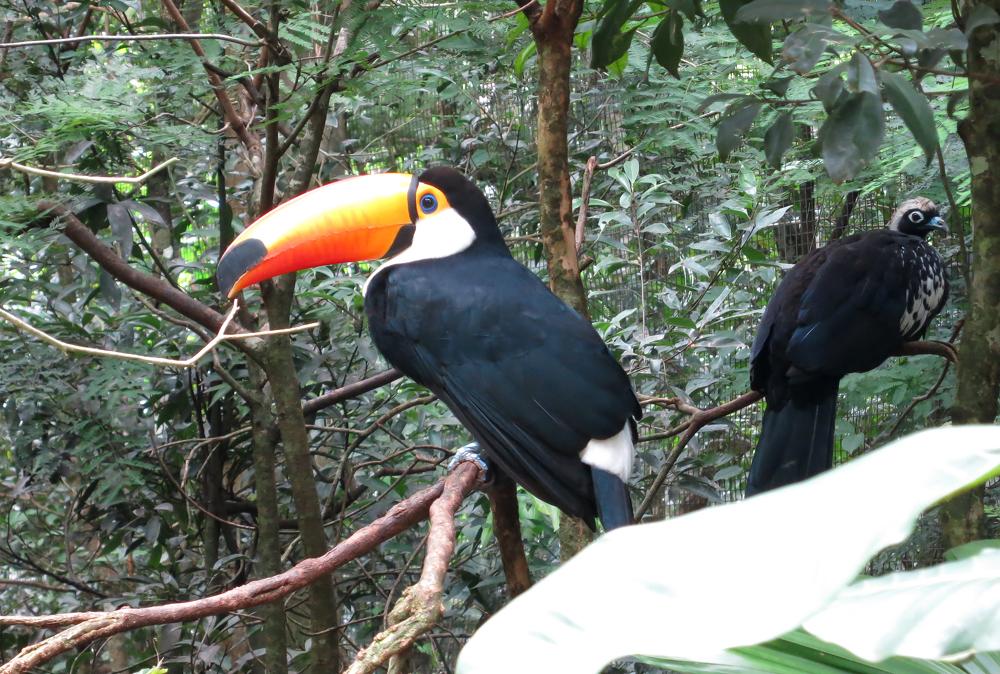 Tukan im Parque das Aves, Foz de Iguaçu, Brasilien