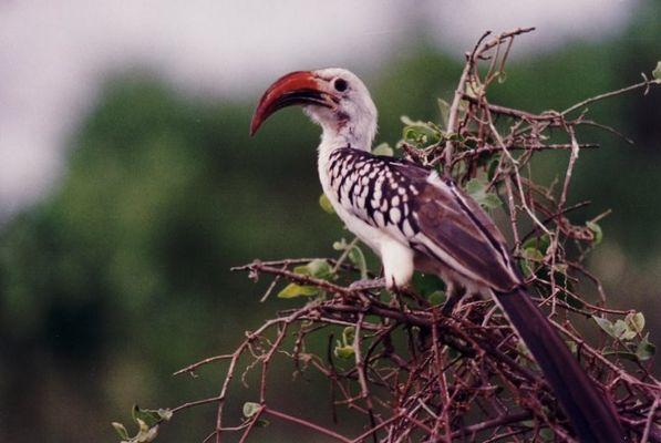 Tukan oder Hornvogel