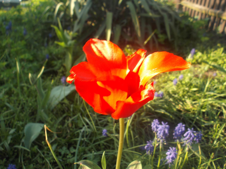 Tulben in meinem Garten