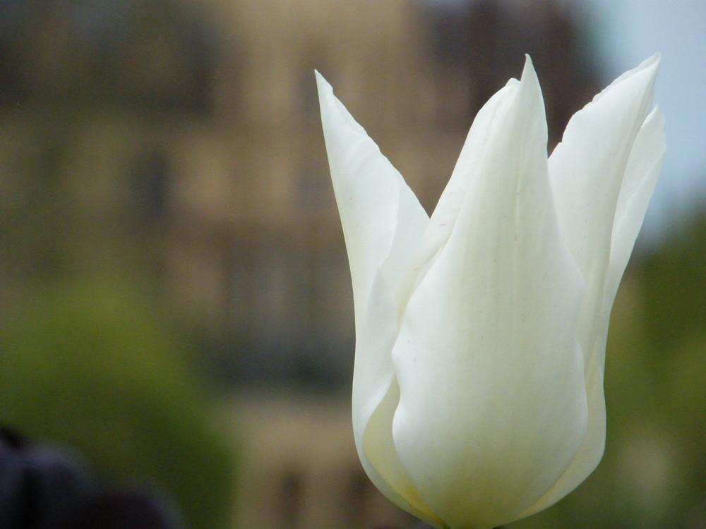 Tulip* 2