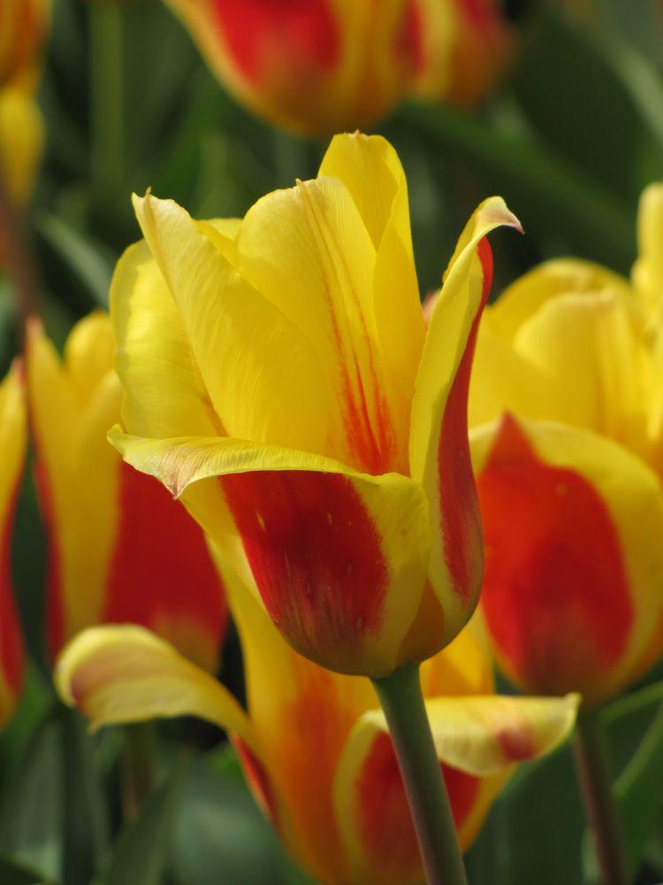 tulip von nwie030
