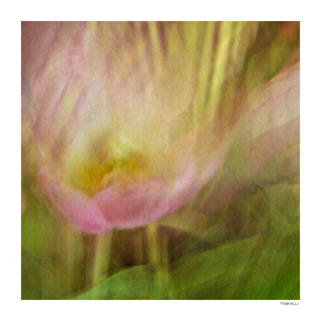 tulip # 5