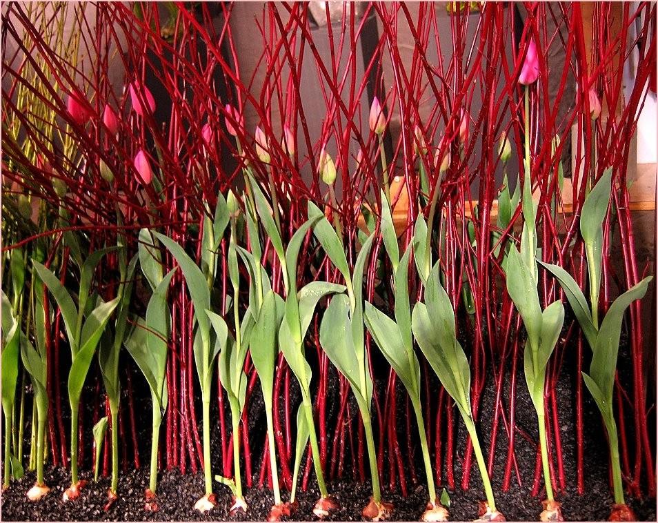 Tulip Art 1