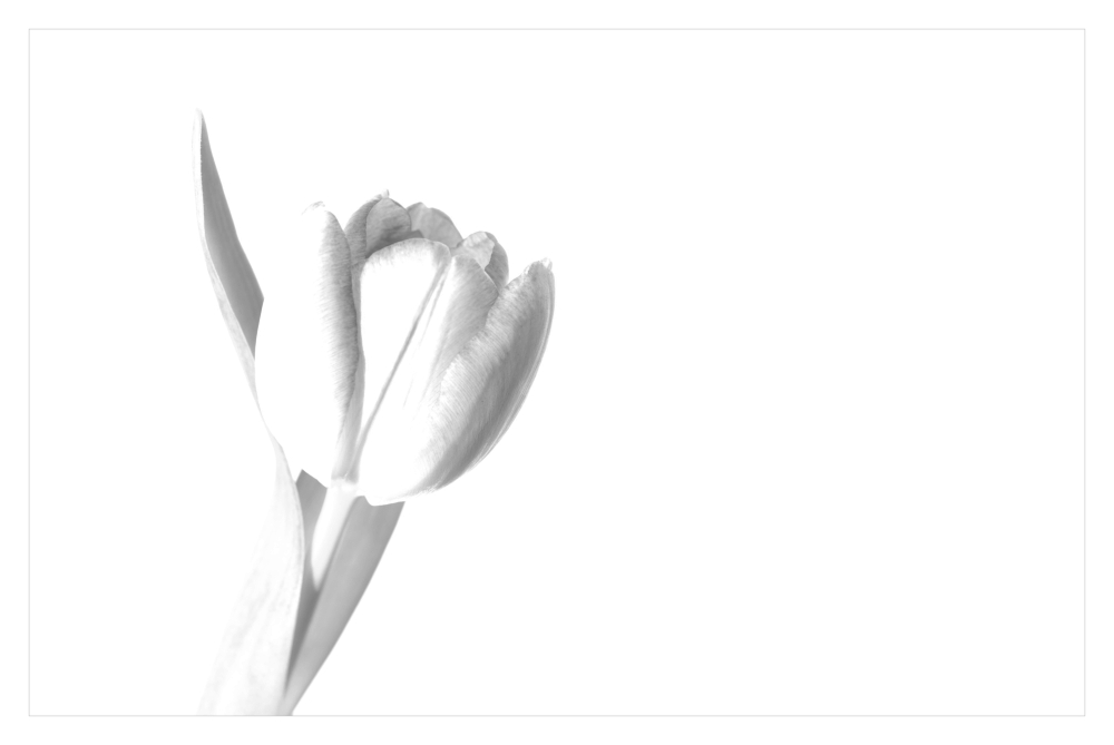 ... tulip dreams ...