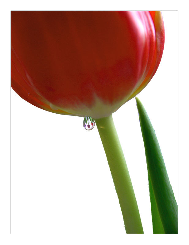 Tulip Drop