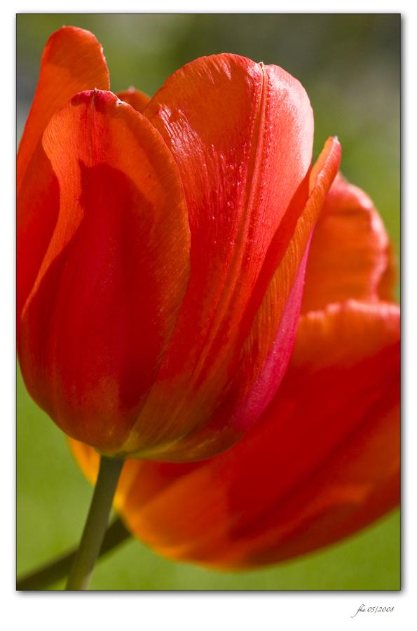 Tulip Heat
