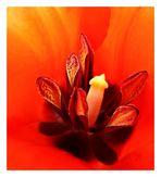 Tulip ungeschliffen