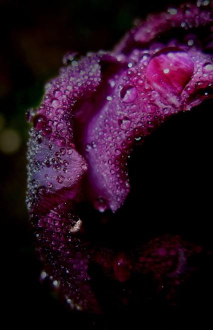tulip with waterdrops
