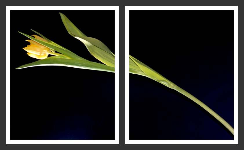 tulip#1
