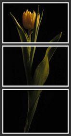 tulip#2