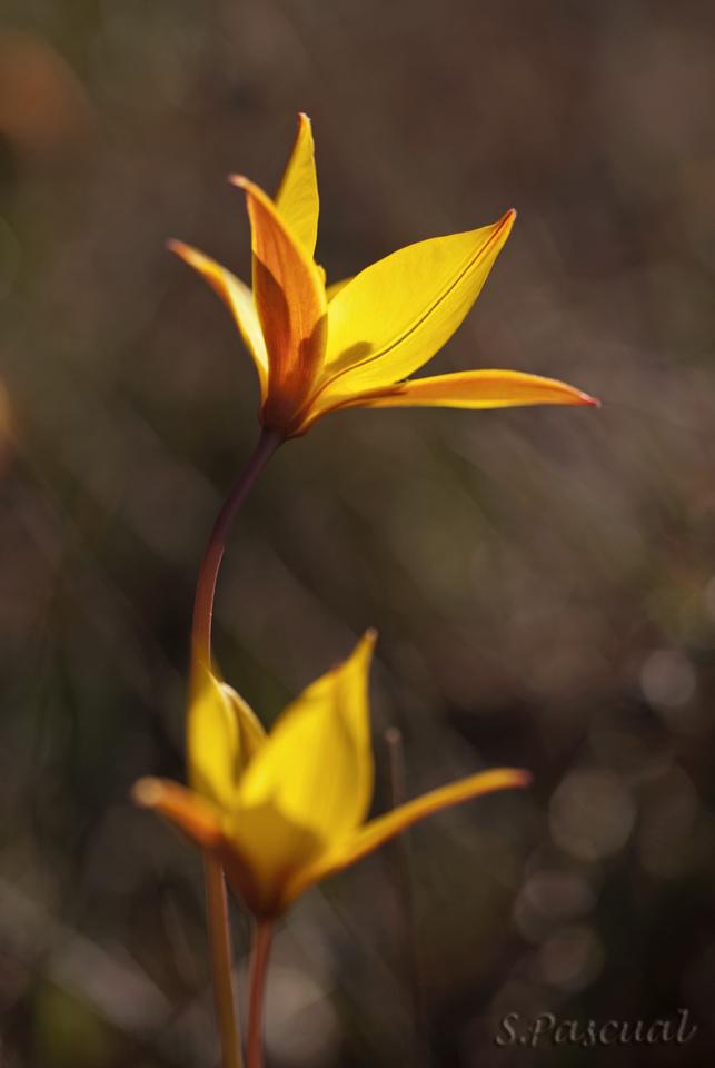 Tulipa australis