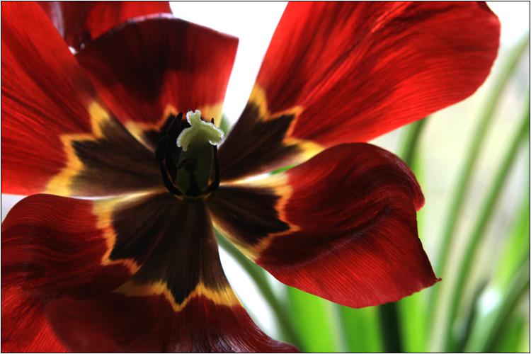 [ tulipa closeup ]