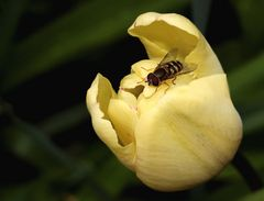 Tulipa darwin hybrid 'Blushing Apeldoorn'...