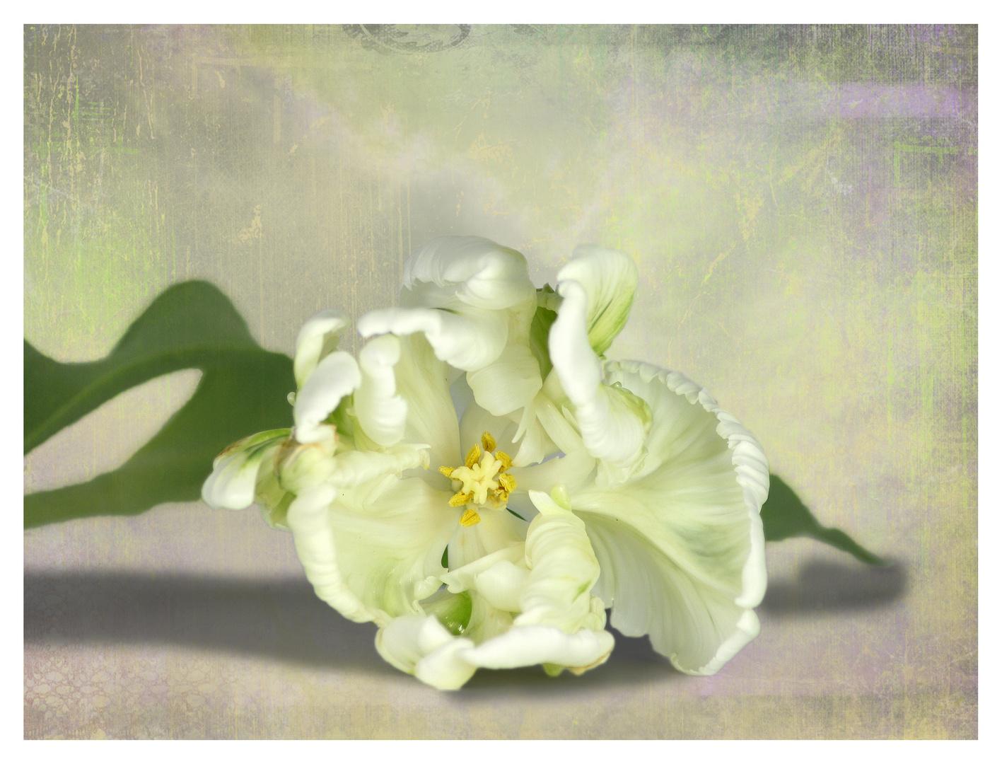Tulipa ... die Zweite