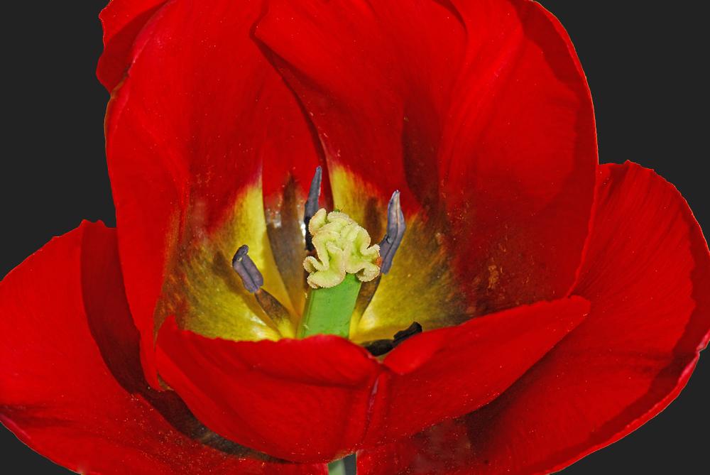 Tulipa - Familie der Liliaceae