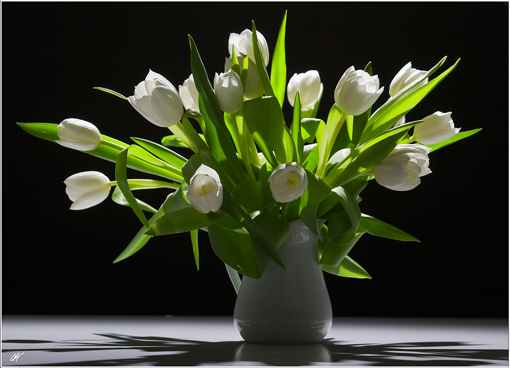 Tulipa in black