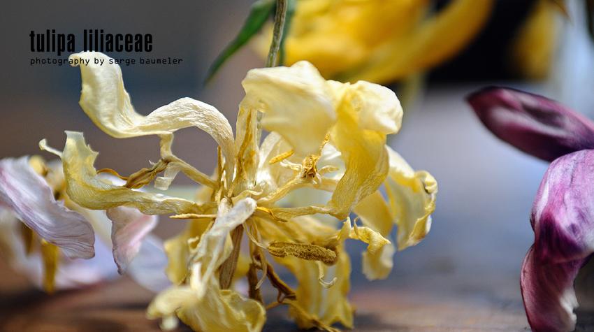 Tulipa Liliaceae 3#