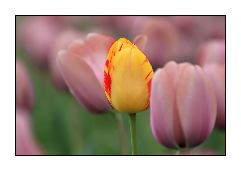 Tulipa Mutatio oder Kuckucksei
