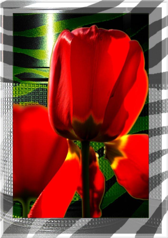 Tulipa Nikkorizada