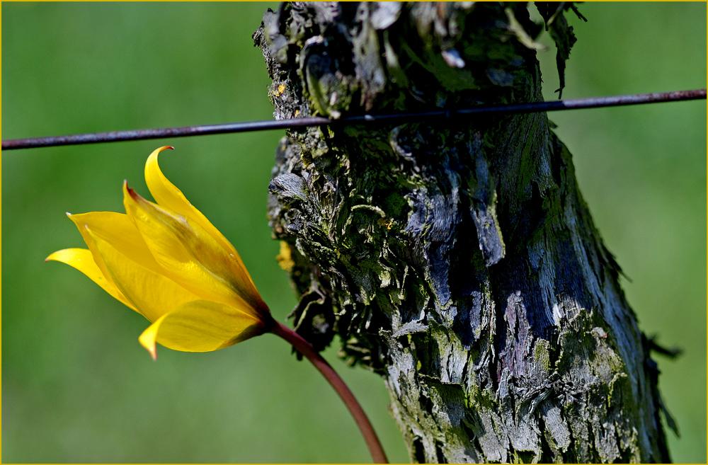 Tulipa sylvestris 2