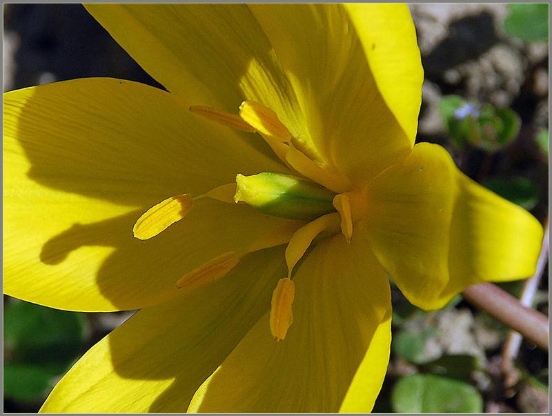 Tulipa sylvestris - Sonnenhungrige Schönheit