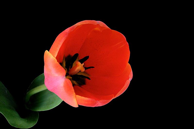 .....tulipàn.....