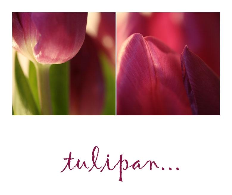 tulipan...