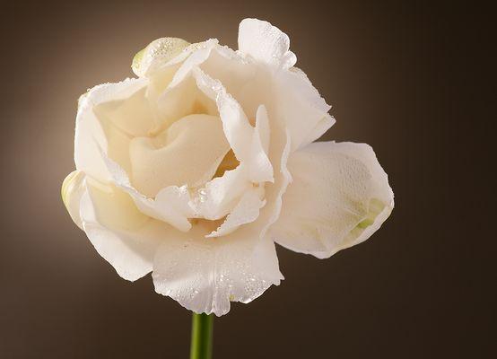 Tulipán blanco II