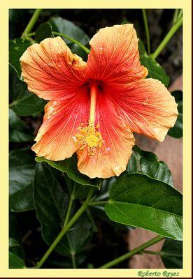 Tulipán (hibisco)
