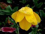 Tulipán humillado por la lluvia