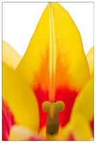 tulipán III