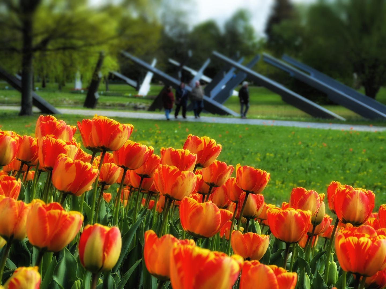 Tulipan im Britzer Garten...