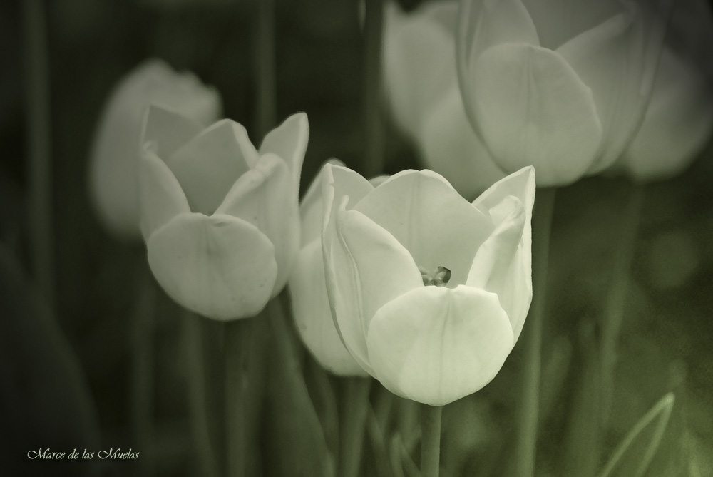 ... tulipanes blancos 2...