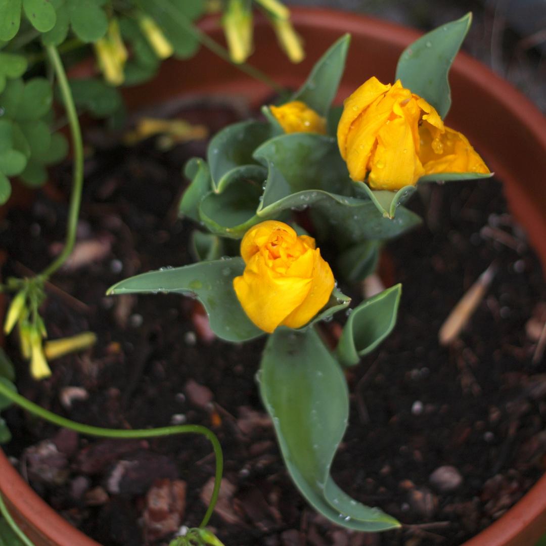 tulipanes despues de la tormenta