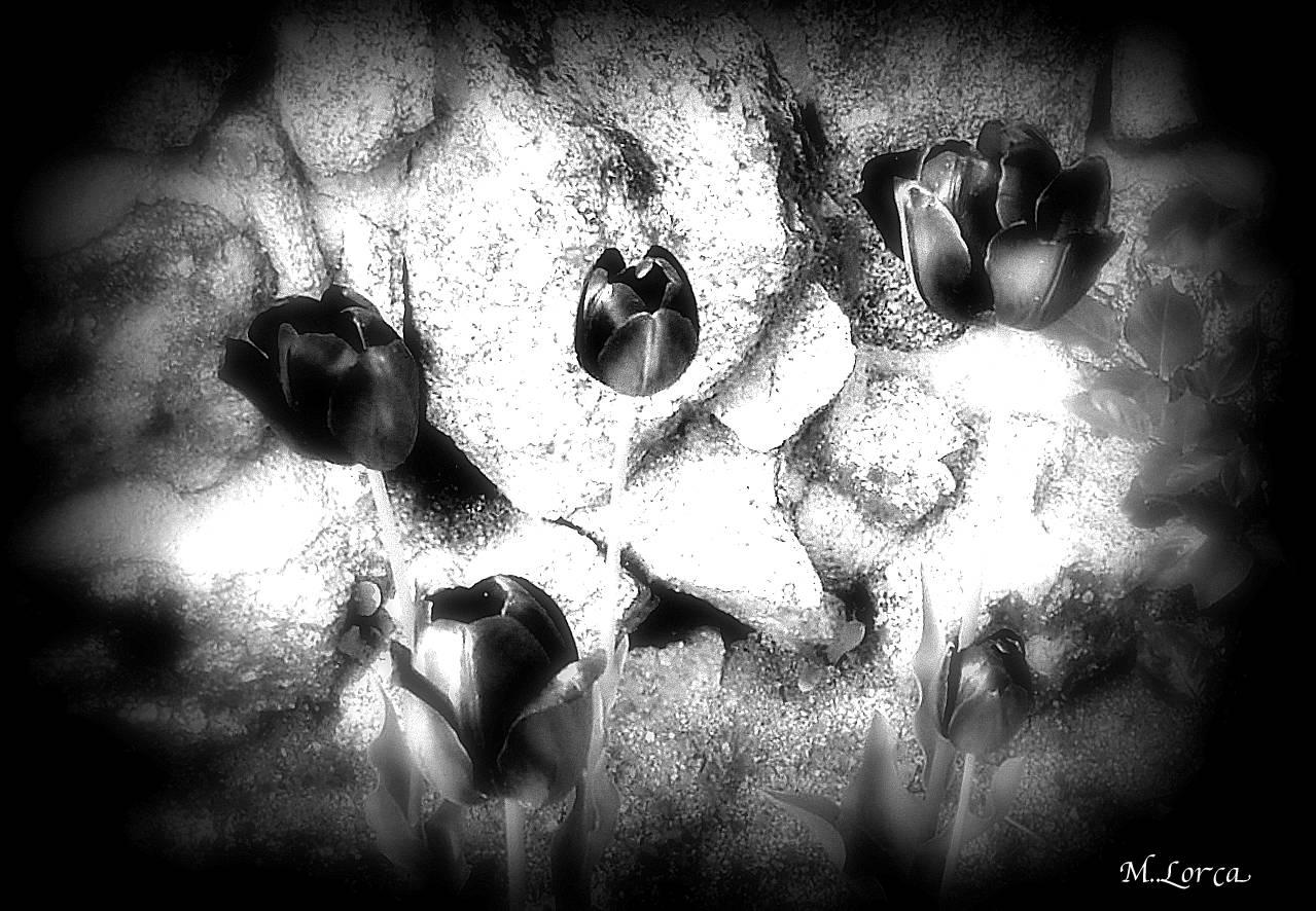 tulipanes negros