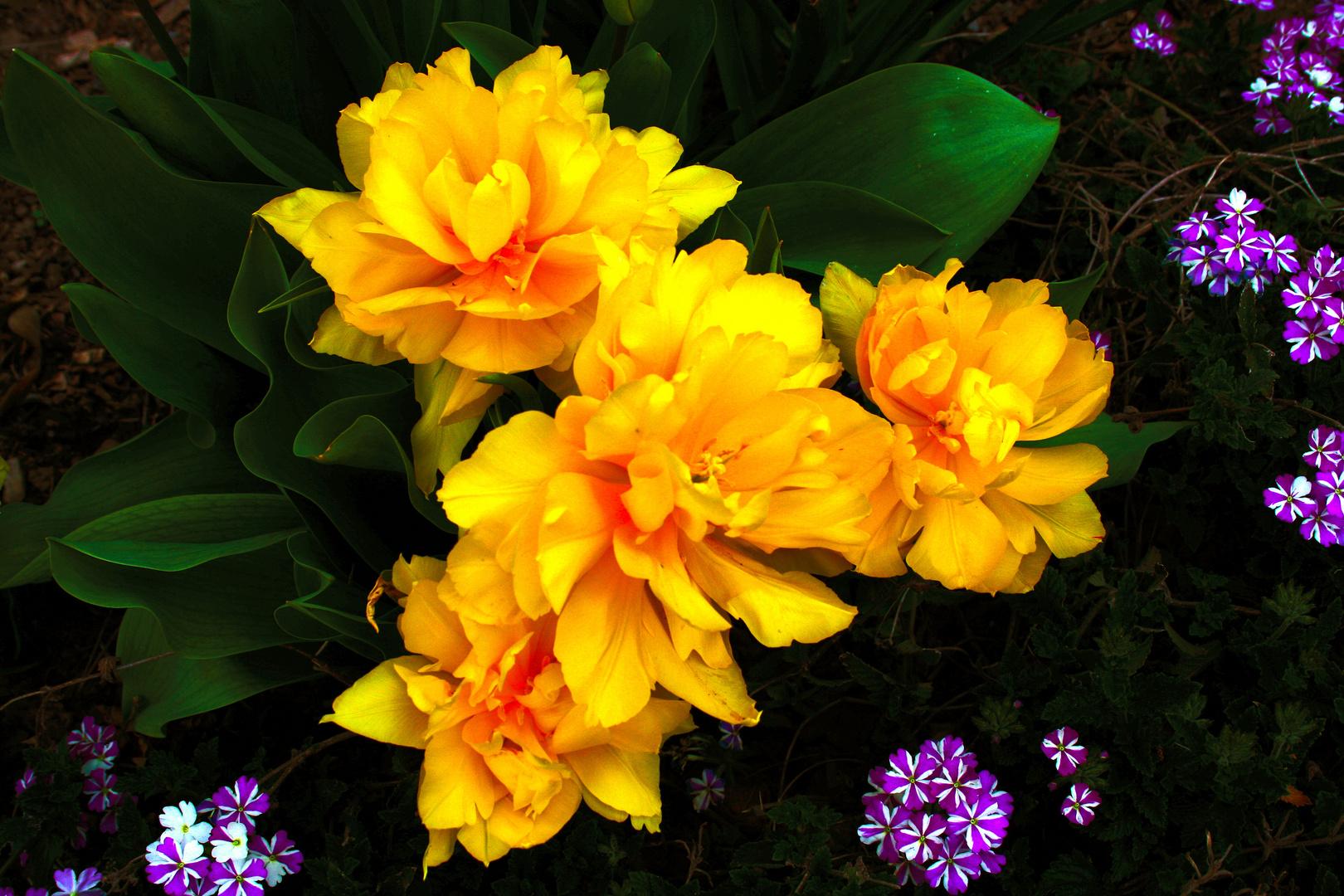 """Tulipanes """"SULTANA"""" y verbena"""