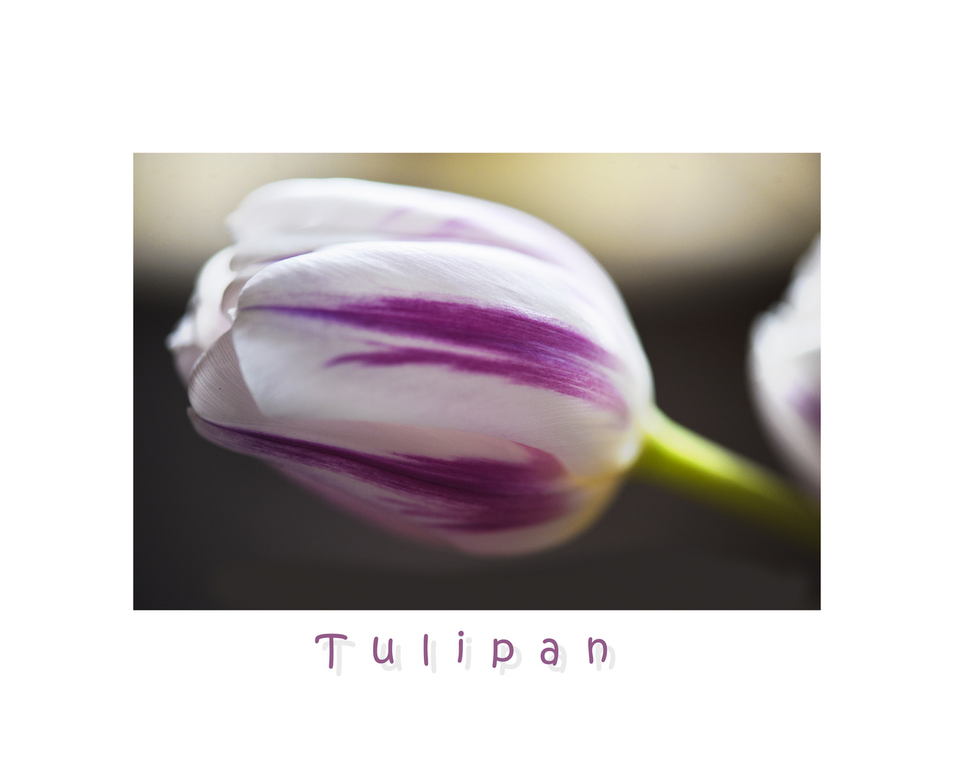 Tulipanhauch.....