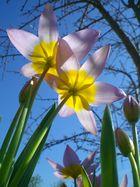**Tulipani**