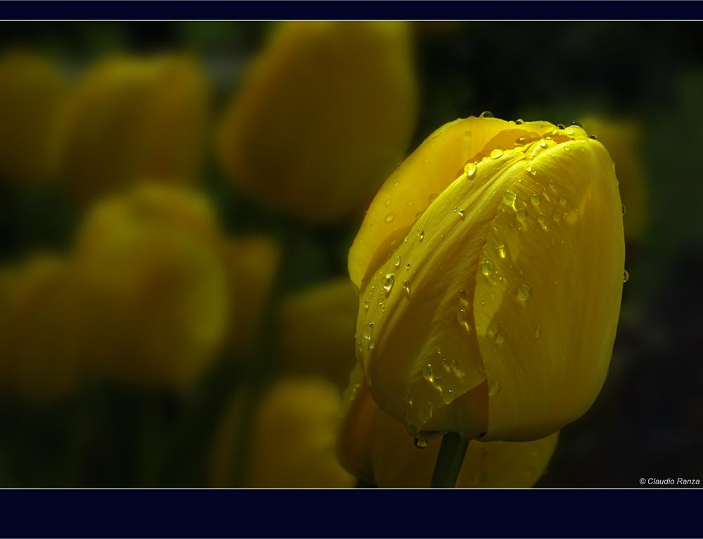 Tulipani sotto la pioggia