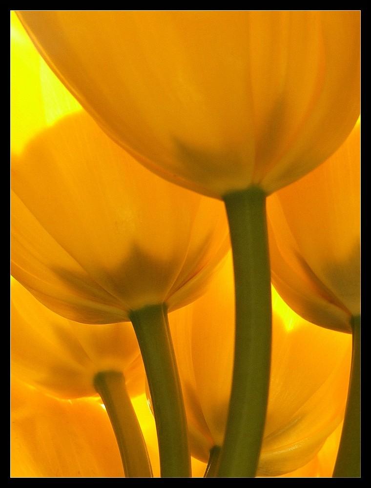 Tulipani....altra prospettiva.