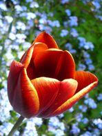 tulipano 2