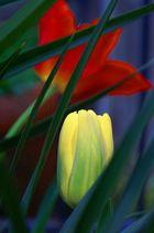 Tulipano Olandese