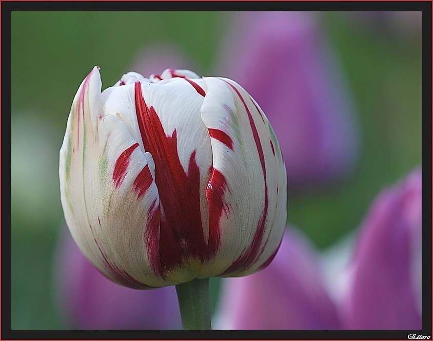 Tulipano variegato all'amarena